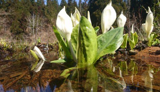 大嵐山の水芭蕉が咲き始めました。